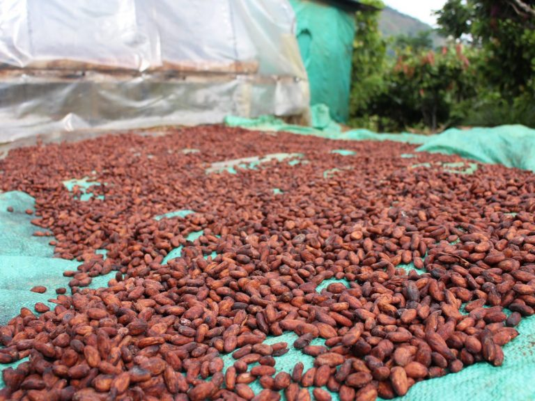 cacao beans drying